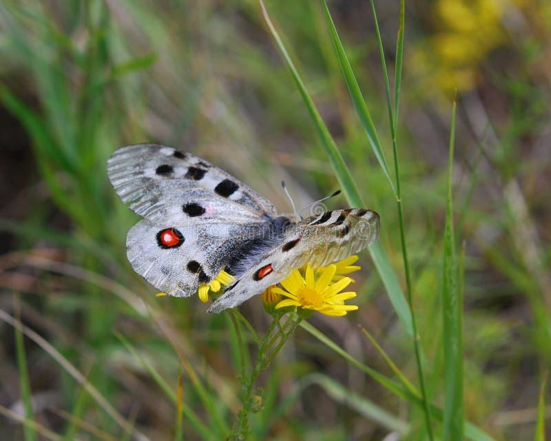 πεταλούδα απόλλωνα στοκ εικόνες