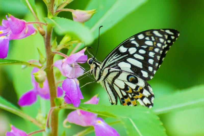 Πεταλούδα ασβέστη στο ρόδινο λουλούδι στοκ εικόνα με δικαίωμα ελεύθερης χρήσης