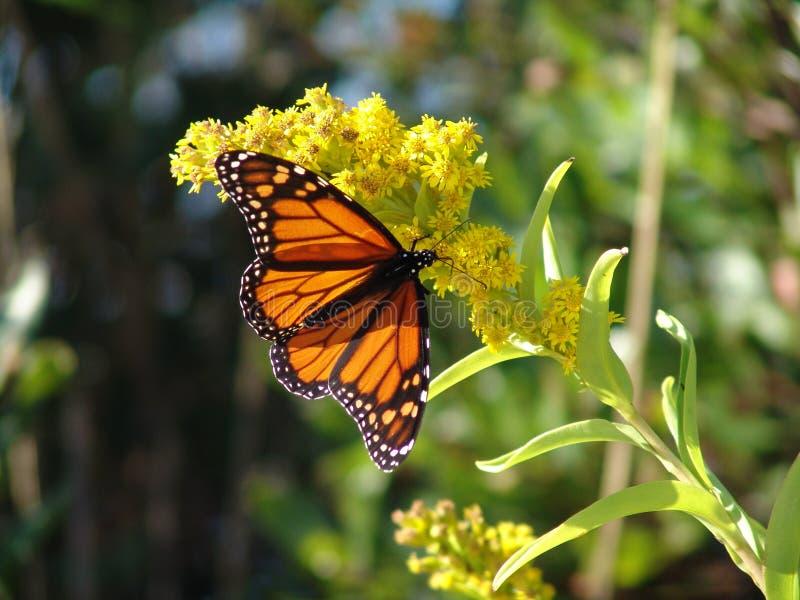 πεταλούδα ενιαία στοκ φωτογραφίες με δικαίωμα ελεύθερης χρήσης