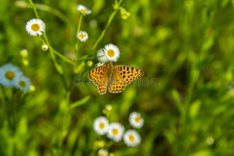 Πεταλούδα εντόμων στα άσπρα λουλούδια μαργαριτών στοκ φωτογραφίες