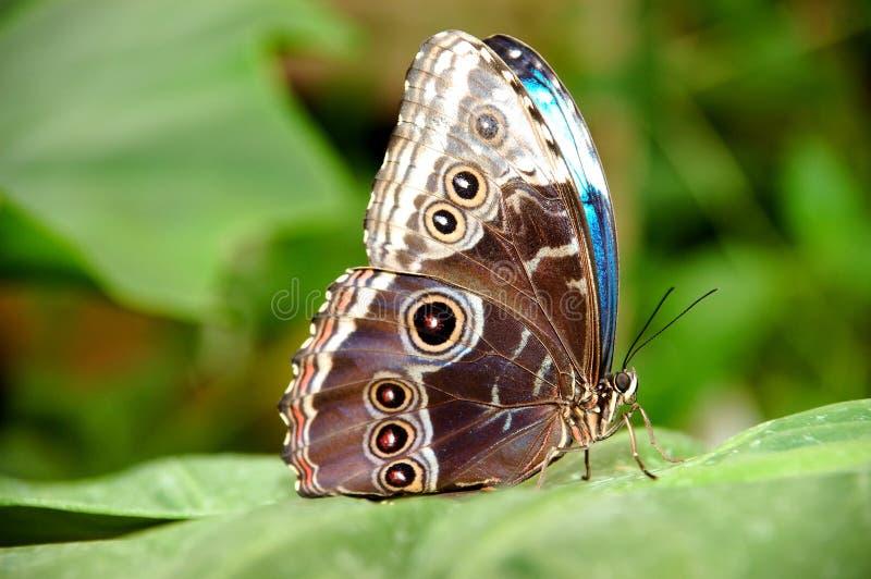 Download πεταλούδα εξωτική στοκ εικόνες. εικόνα από φτερό, σχέδιο - 116826