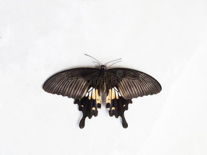 Πεταλούδα θηλυκό Papilio polytes στο λευκό στοκ φωτογραφία με δικαίωμα ελεύθερης χρήσης