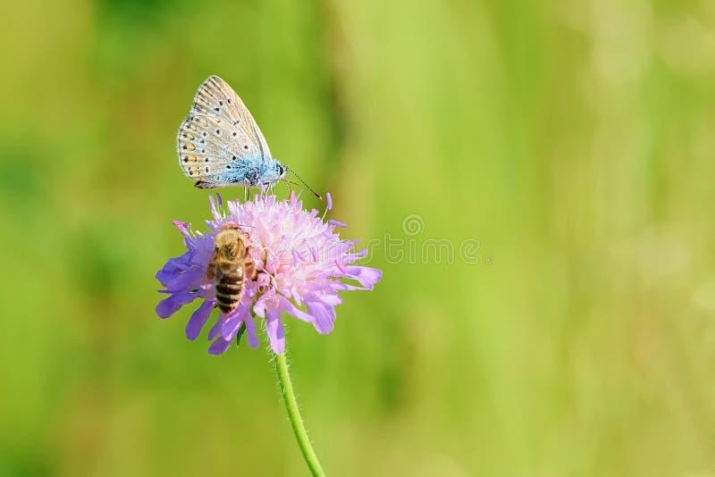 Πεταλούδα και μέλισσα μελιού στο πορφυρό λουλούδι στοκ φωτογραφία