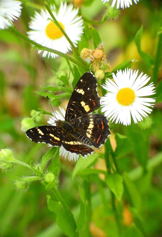 Πεταλούδα και μαργαρίτα στοκ εικόνες