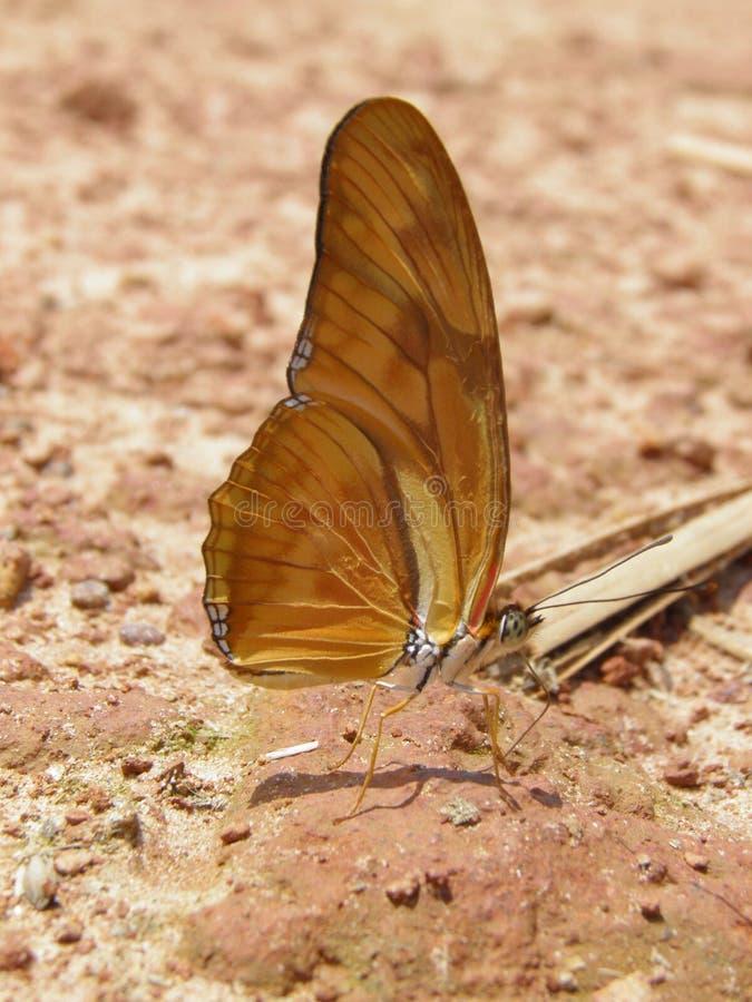 Πεταλούδα λωτού στοκ εικόνα