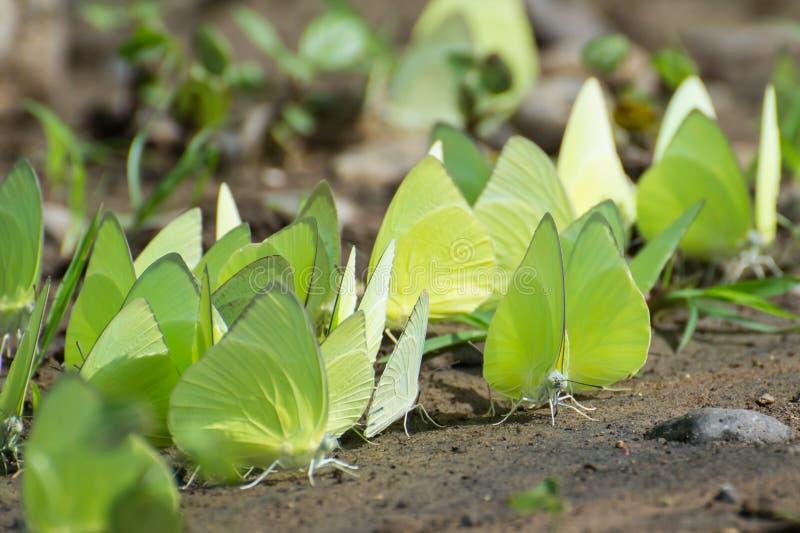 Πεταλούδα μεταναστών λεμονιών στοκ εικόνα με δικαίωμα ελεύθερης χρήσης