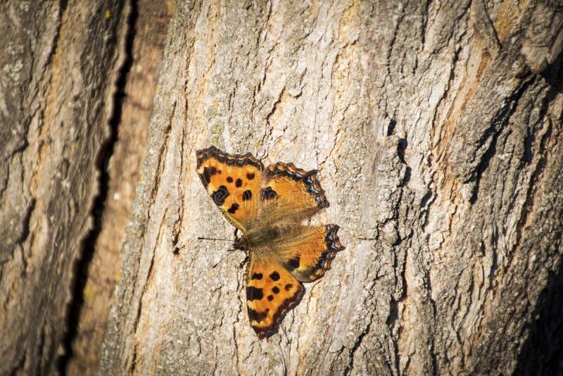 Πεταλούδα - μικρά urticae Aglais ταρταρουγών σε τρία στη φύση στοκ φωτογραφίες με δικαίωμα ελεύθερης χρήσης