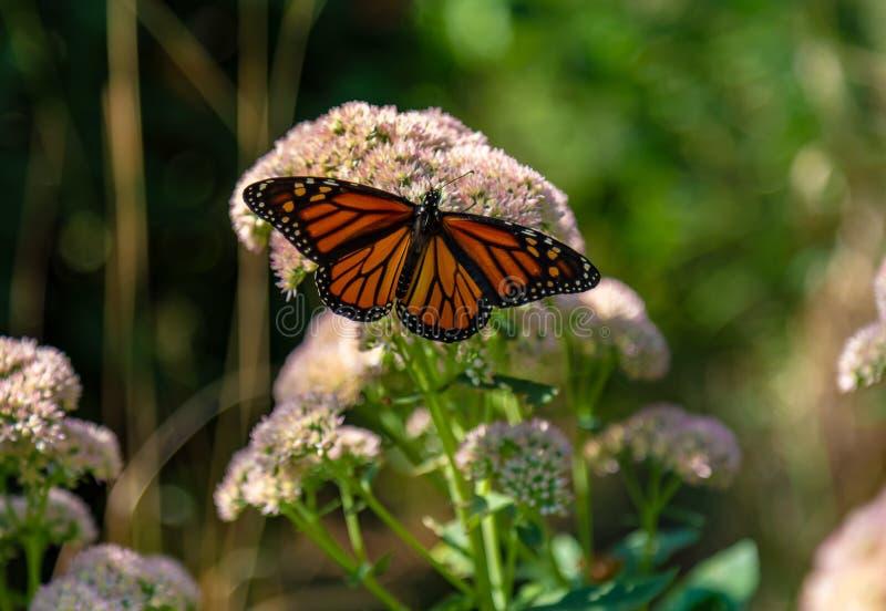 Πεταλούδα μοναρχών με τα ευρέα ανοικτά φτερά που σκαρφαλώνουν στο sedum στοκ φωτογραφία