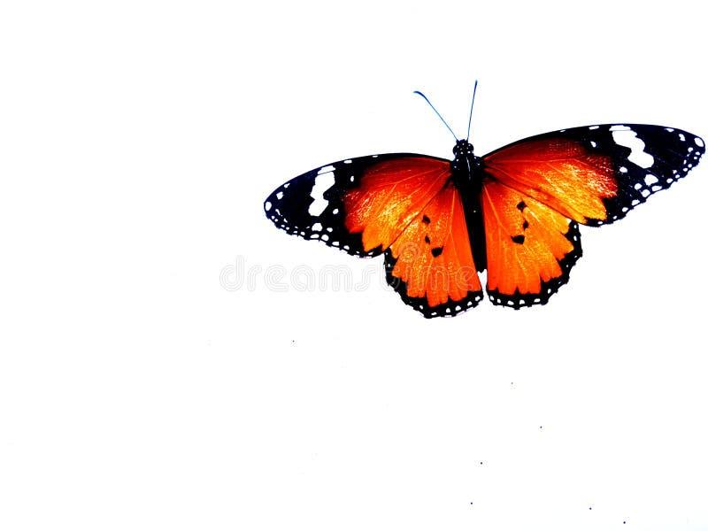 Πεταλούδα μοναρχών, που απομονώνεται στο άσπρο υπόβαθρο στοκ φωτογραφία