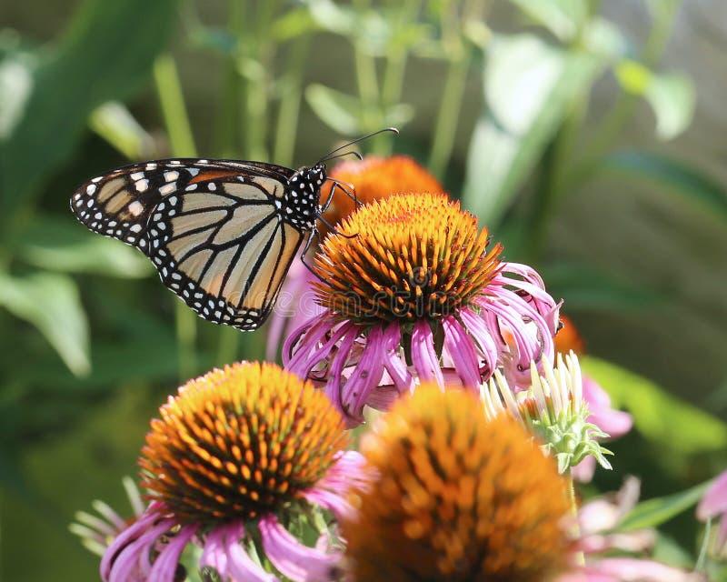 Πεταλούδα μοναρχών σε πορφυρό Coneflower στοκ φωτογραφία με δικαίωμα ελεύθερης χρήσης