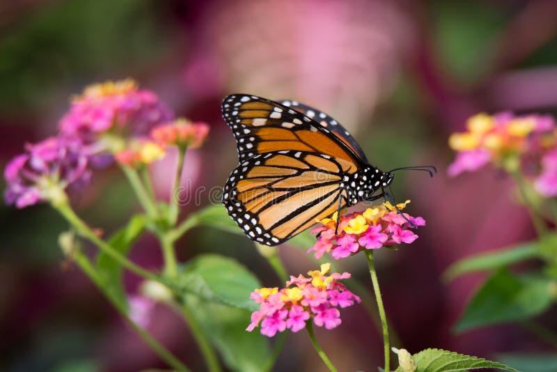 Πεταλούδα μοναρχών στα ζωηρόχρωμα λουλούδια Lantana στοκ φωτογραφίες