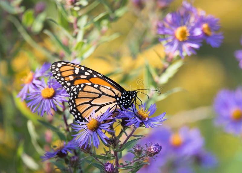Πεταλούδα μοναρχών στα πορφυρά λουλούδια αστέρων της Νέας Αγγλίας στοκ εικόνες