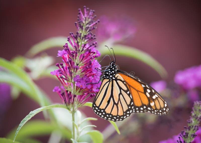 Πεταλούδα μοναρχών στα πορφυρά λουλούδια θάμνων πεταλούδων στοκ εικόνα με δικαίωμα ελεύθερης χρήσης