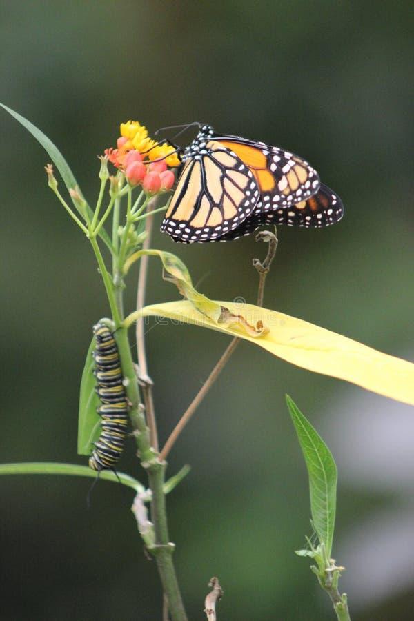 Πεταλούδα μοναρχών στην άνθιση με την προνύμφη στοκ φωτογραφία με δικαίωμα ελεύθερης χρήσης