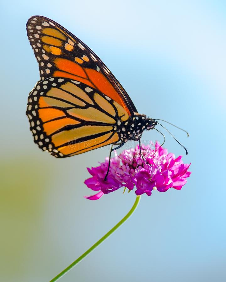 Πεταλούδα μοναρχών στοκ εικόνα