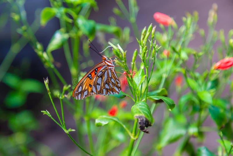 Πεταλούδα πάθους με τα φτερά κλειστά στοκ φωτογραφία