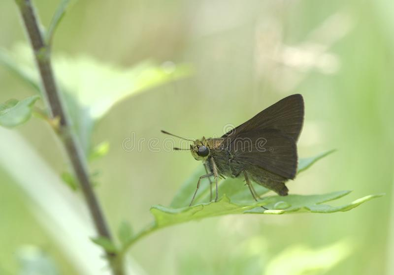 Πεταλούδα πλοιάρχων Dun στο Νιου Τζέρσεϋ στοκ εικόνες