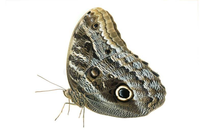 Πεταλούδα που απομονώνεται γκρίζα στοκ εικόνα με δικαίωμα ελεύθερης χρήσης