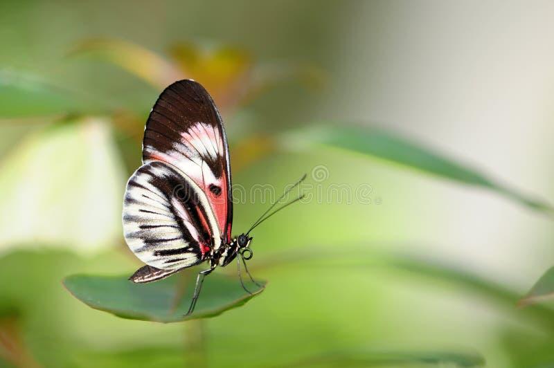 πεταλούδα που επιπλέει το βασικό πιάνο στοκ φωτογραφίες