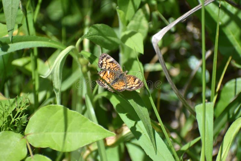 Πεταλούδα που σκαρφαλώνει στο φύλλο στοκ εικόνες