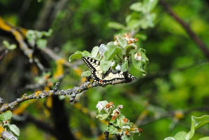 Πεταλούδα σε έναν κλάδο δέντρων την άνοιξη στοκ εικόνες με δικαίωμα ελεύθερης χρήσης