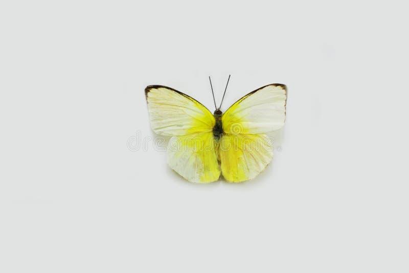 Πεταλούδα σε ένα καθαρό υπόβαθρο στοκ φωτογραφία με δικαίωμα ελεύθερης χρήσης