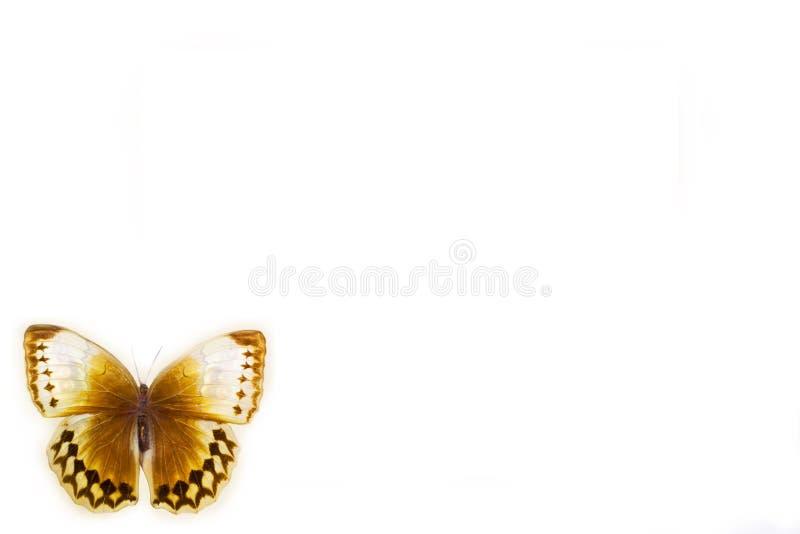 Πεταλούδα σε ένα καθαρό υπόβαθρο στοκ φωτογραφίες