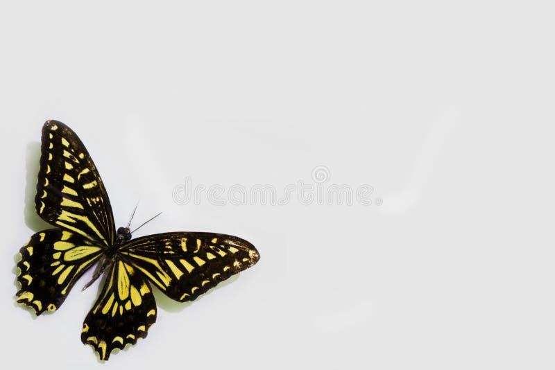 Πεταλούδα σε ένα καθαρό υπόβαθρο στοκ φωτογραφία
