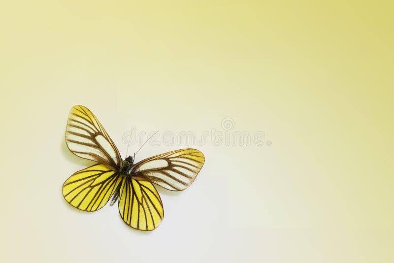 Πεταλούδα σε ένα καθαρό υπόβαθρο στοκ εικόνα