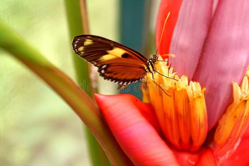 Πεταλούδα σε ένα λουλούδι μπανανών στοκ φωτογραφία με δικαίωμα ελεύθερης χρήσης