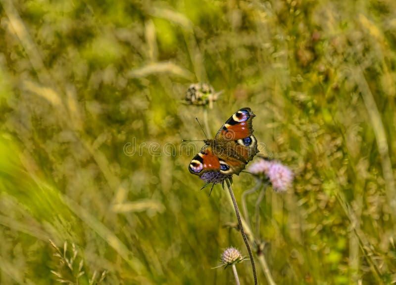 Πεταλούδα σε ένα λουλούδι το σαφές θερινό απόγευμα στοκ φωτογραφία με δικαίωμα ελεύθερης χρήσης