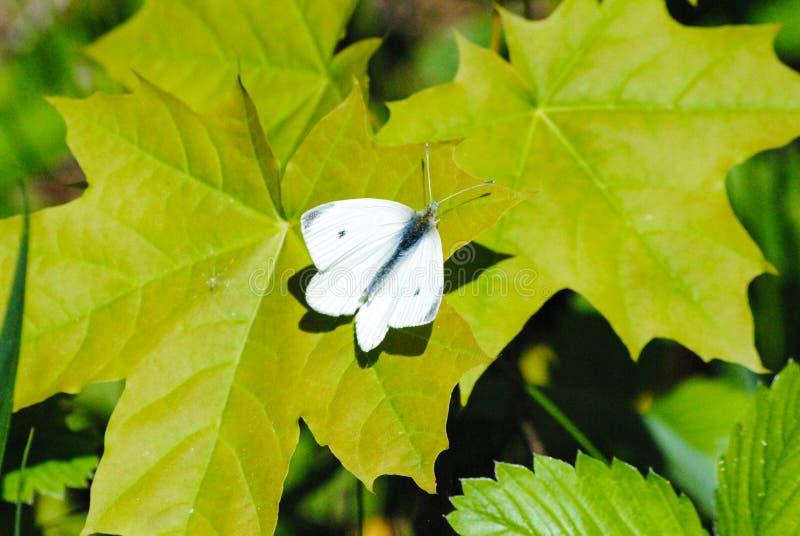 Πεταλούδα σε ένα φύλλο ενός δέντρου την άνοιξη στοκ εικόνες