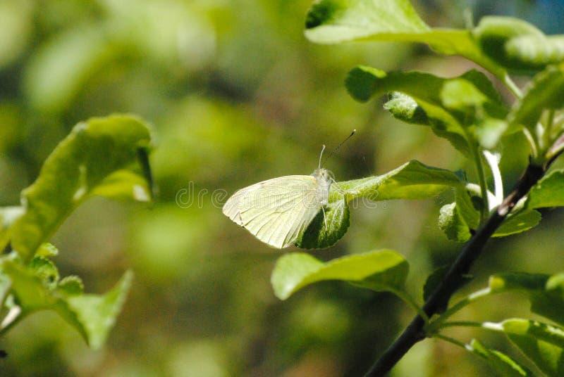 Πεταλούδα σε ένα φύλλο ενός δέντρου την άνοιξη στοκ εικόνα με δικαίωμα ελεύθερης χρήσης