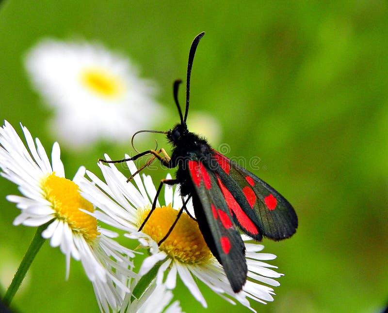 Πεταλούδα σε μια μαργαρίτα στοκ εικόνες με δικαίωμα ελεύθερης χρήσης