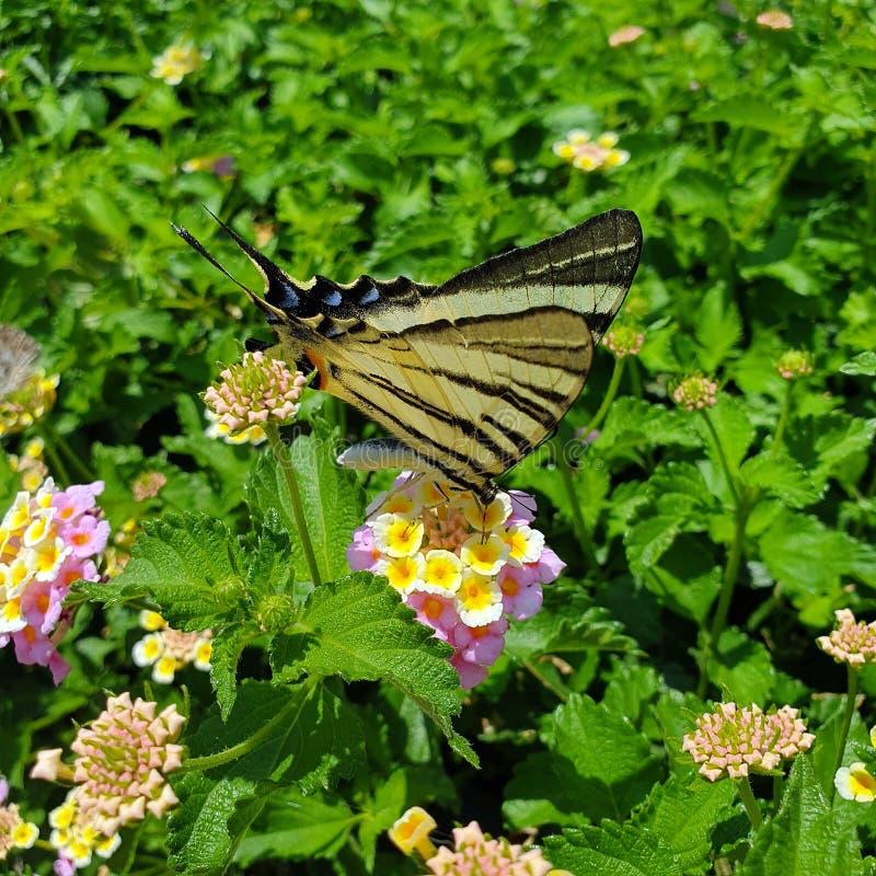 Πεταλούδα στα κίτρινα ρόδινα λουλούδια closeup στοκ εικόνες
