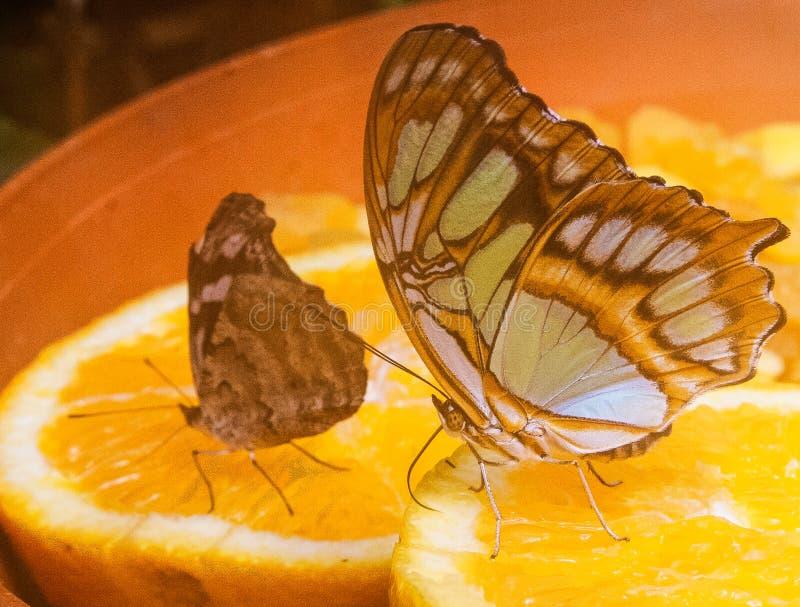 Πεταλούδα στο ζωολογικό κήπο 3 Blijdorp στοκ φωτογραφίες