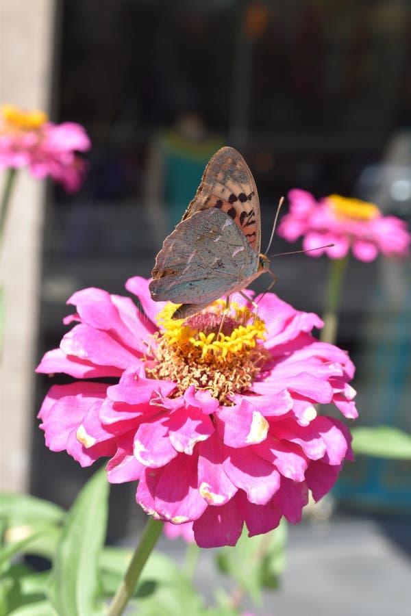 Πεταλούδα στο ρόδινο λουλούδι ομορφιάς στοκ εικόνα