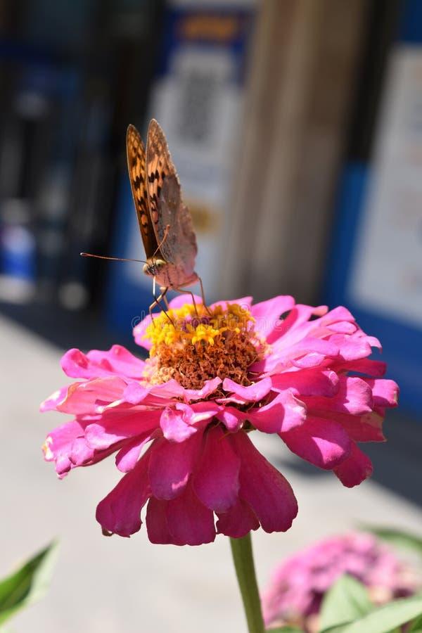 Πεταλούδα στο ρόδινο λουλούδι ομορφιάς στοκ φωτογραφία με δικαίωμα ελεύθερης χρήσης