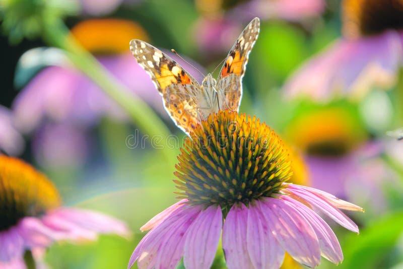 Πεταλούδα των Νυμφών στα άνθη στοκ φωτογραφίες