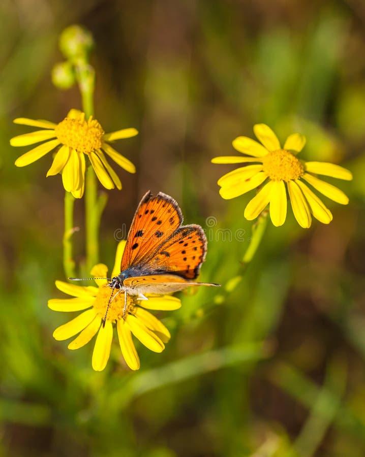 Πεταλούδα χαλκού στα κίτρινα λουλούδια της Daisy στοκ εικόνες