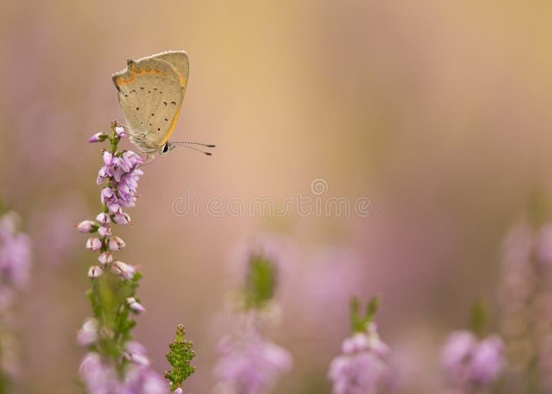 Πεταλούδα χαλκού στην ανθίζοντας πορφυρή ερείκη στοκ φωτογραφίες