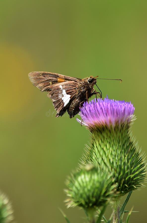Πεταλούδα χοανών στον κάρδο στοκ φωτογραφία
