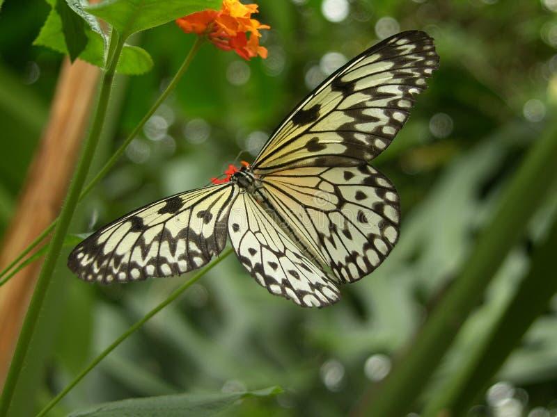 Πεταλούδα Δωρεάν Στοκ Φωτογραφίες