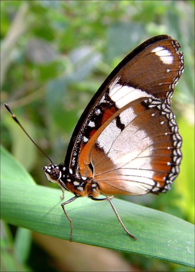 Download πεταλούδα στοκ εικόνες. εικόνα από φύλλο, φυτό, φύση, υπόλοιπο - 1549690