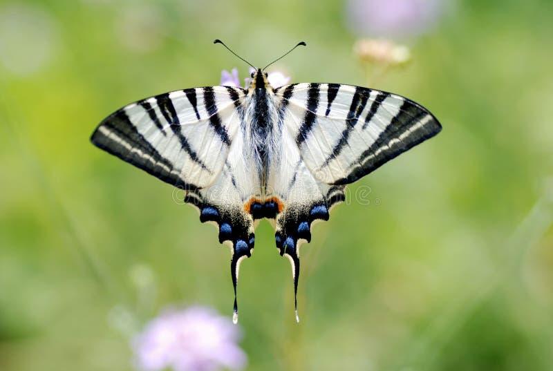 Download πεταλούδα στοκ εικόνα. εικόνα από άσπρος, χλωρίδα, floral - 17053255