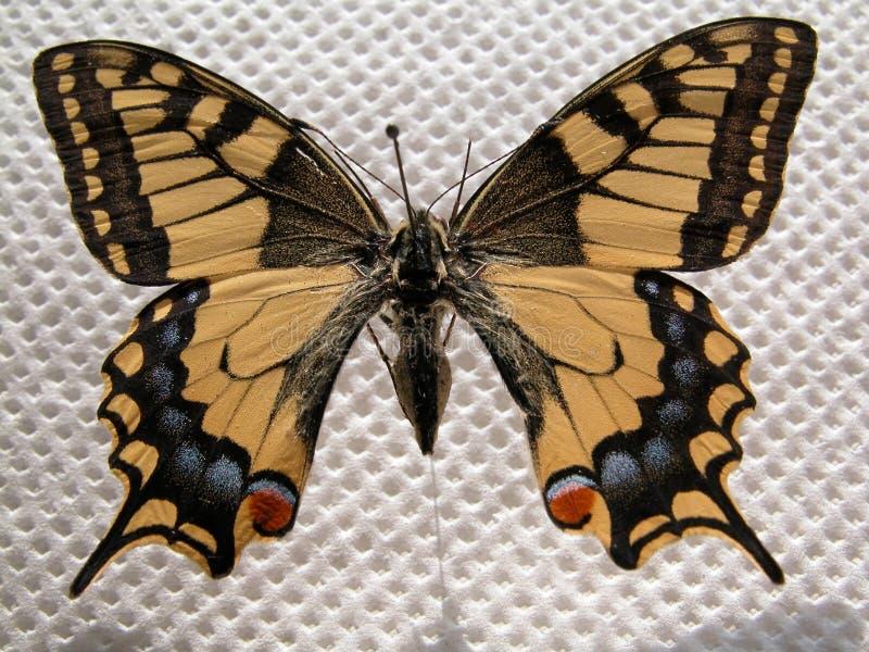 Download πεταλούδα στοκ εικόνα. εικόνα από πεταλούδα, ελευθερία, φτερωτός - 82327