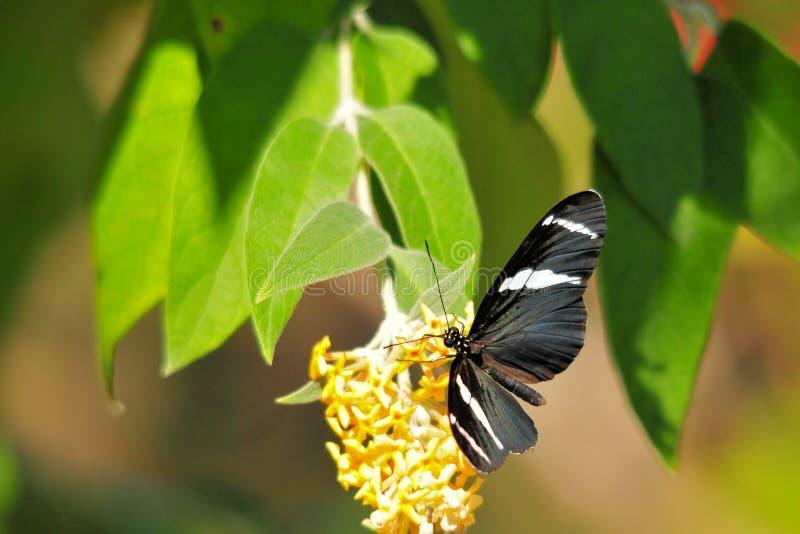 πεταλούδα buddleia που ταΐζει sara στοκ εικόνα