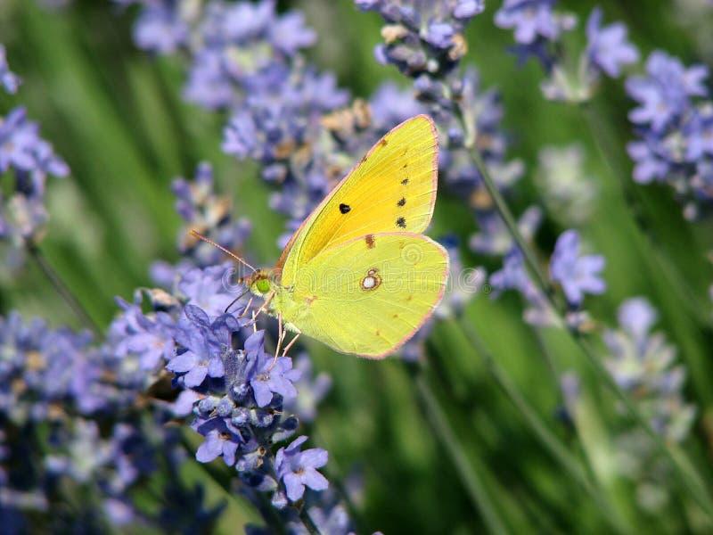 Πεταλούδα lavender στα λουλούδια στοκ φωτογραφία