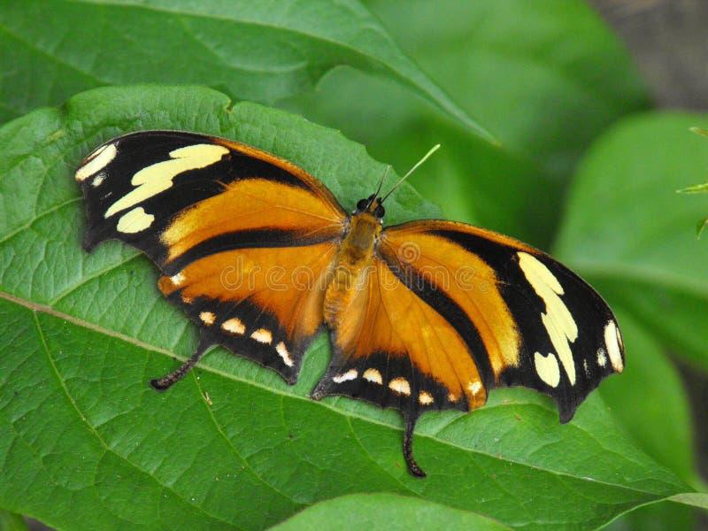 Πεταλούδα Leafwing τιγρών σε στάση στοκ φωτογραφία με δικαίωμα ελεύθερης χρήσης