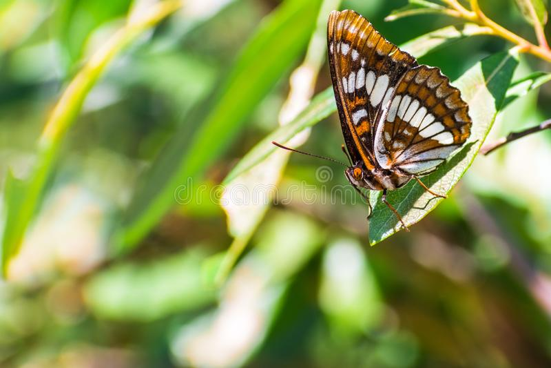 Πεταλούδα lorquini Limenitis ναυάρχων Lorquin ` s στοκ φωτογραφίες